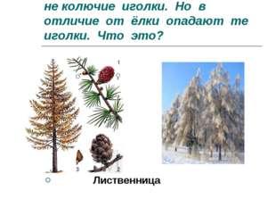 8.Есть у родственницы елки не колючие иголки. Но в отличие от ёлки опадают те