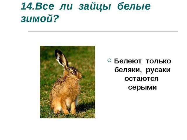 14.Все ли зайцы белые зимой? Белеют только беляки, русаки остаются серыми