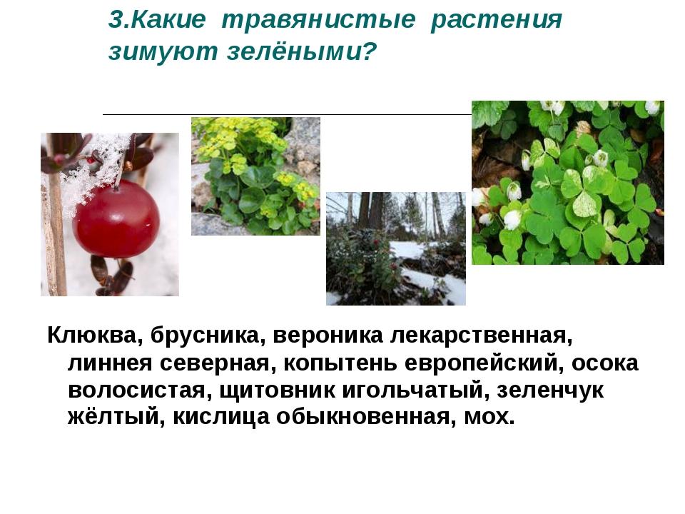 3.Какие травянистые растения зимуют зелёными? Клюква, брусника, вероника лека...
