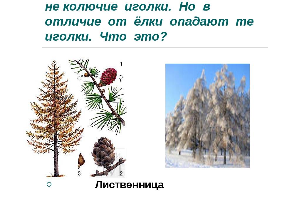 8.Есть у родственницы елки не колючие иголки. Но в отличие от ёлки опадают те...