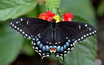 Большая чёрная бабочка картинки