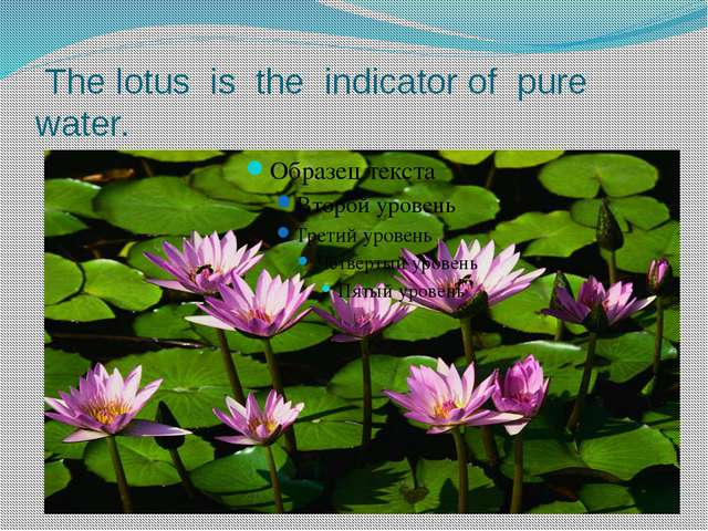 The lotus is the indicator of pure water.