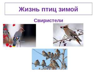 Жизнь птиц зимой Свиристели