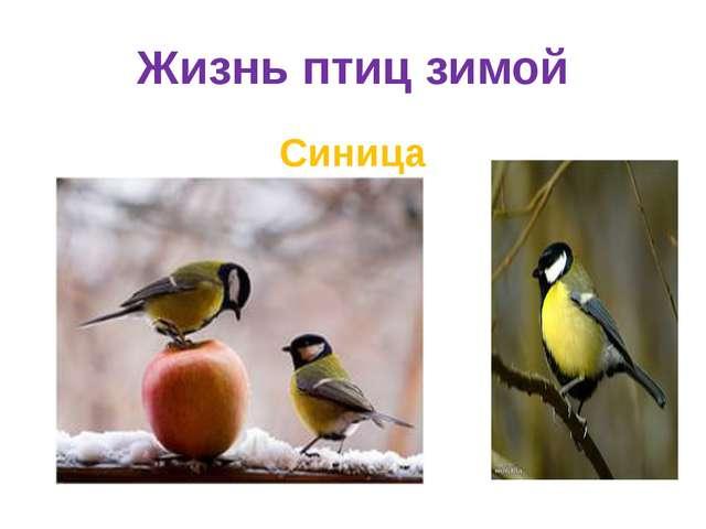 Жизнь птиц зимой Синица
