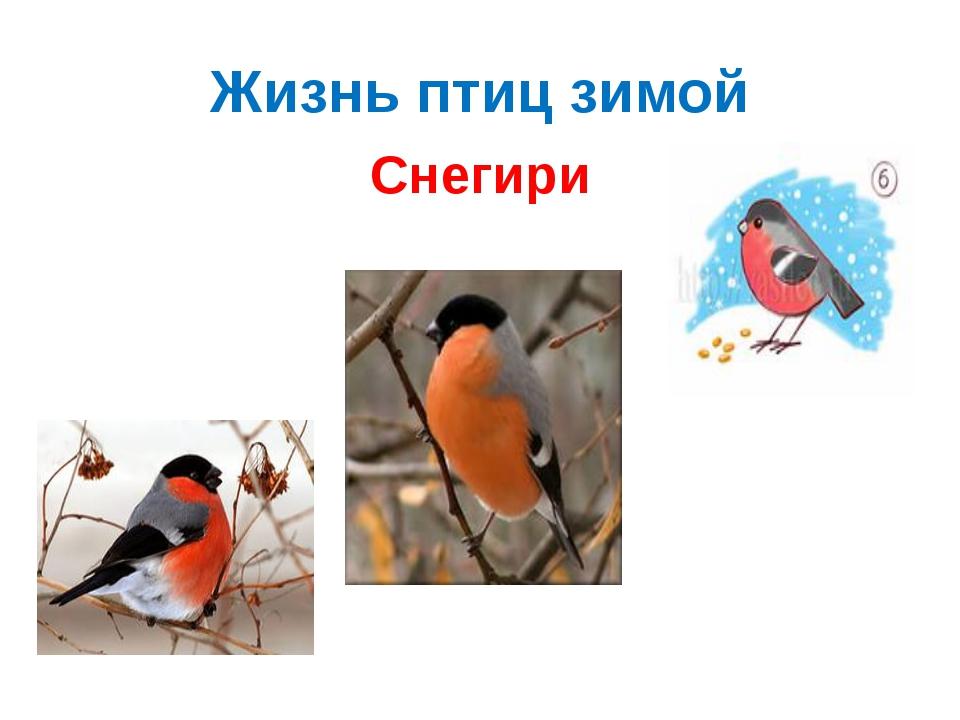 Жизнь птиц зимой Снегири