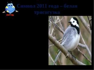 Символ 2011 года – белая трясогузка Живет всегда недалеко от воды. Гнездо все