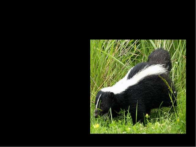 Какое животное в случае опасности брызгает вонючей жидкостью, которая может о...