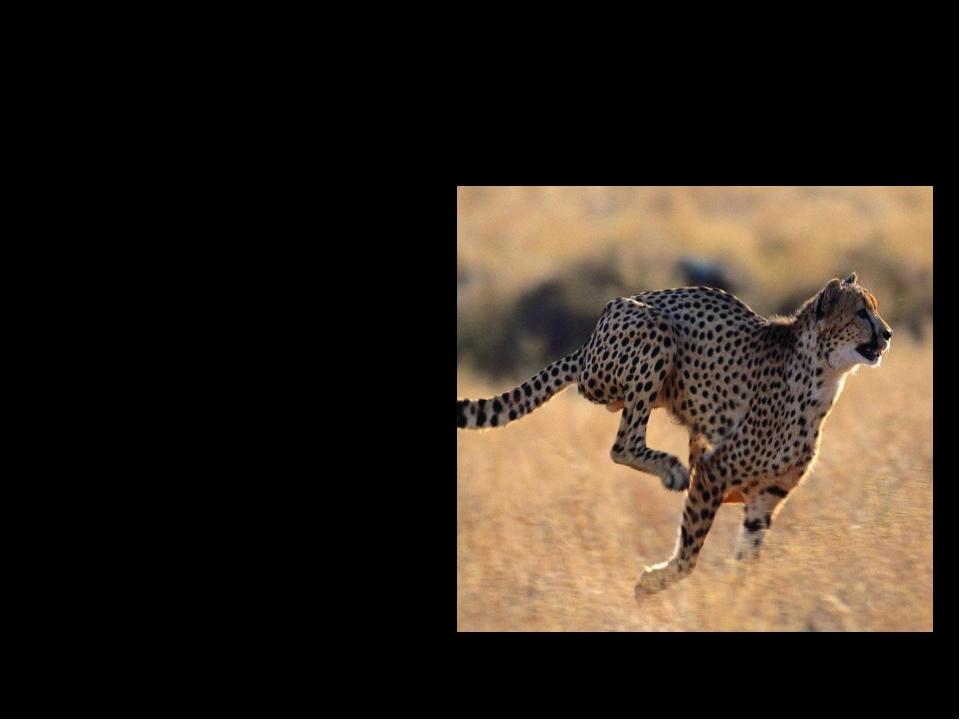 Какое из животных самое быстрое? Собака 2. Гепард 3. Лошадь