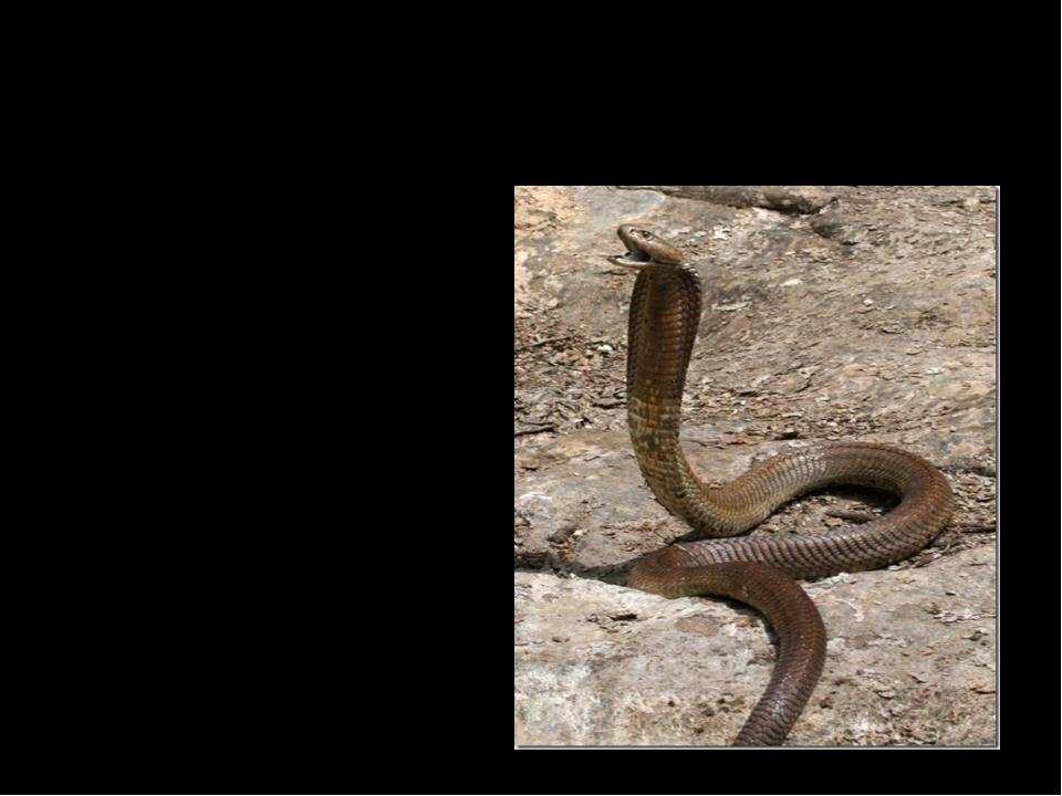 Какая змея считается самой опасной? Кобра 2. Гадюка 3. Удав