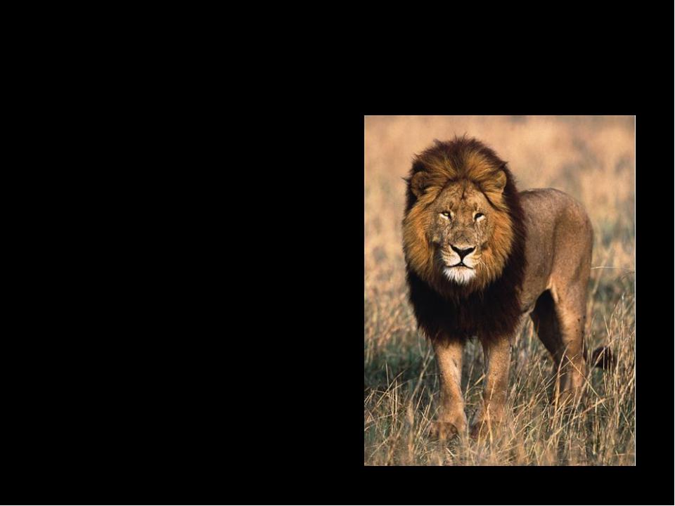 Карточка № 2 Царственная грива, величественная походка, охотятся вечером цело...