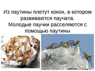 Из паутины плетут кокон, в котором развиваются паучата. Молодые паучки рассел