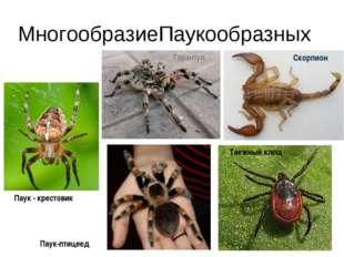 МногообразиеПаукообразных Тарантул Скорпион Таежный клещ Паук-птицеед Паук -