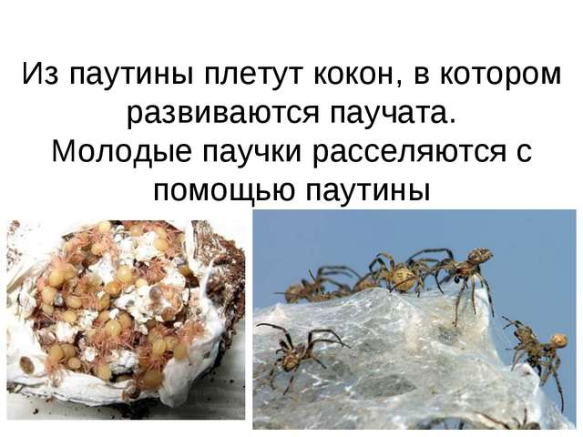 Из паутины плетут кокон, в котором развиваются паучата. Молодые паучки рассел...