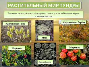 РАСТИТЕЛЬНЫЙ МИР ТУНДРЫ Растения низкорослые, стелющиеся, почти у всех неболь
