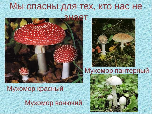 Мухомор красный Мы опасны для тех, кто нас не знает Мухомор пантерный Мухомор...