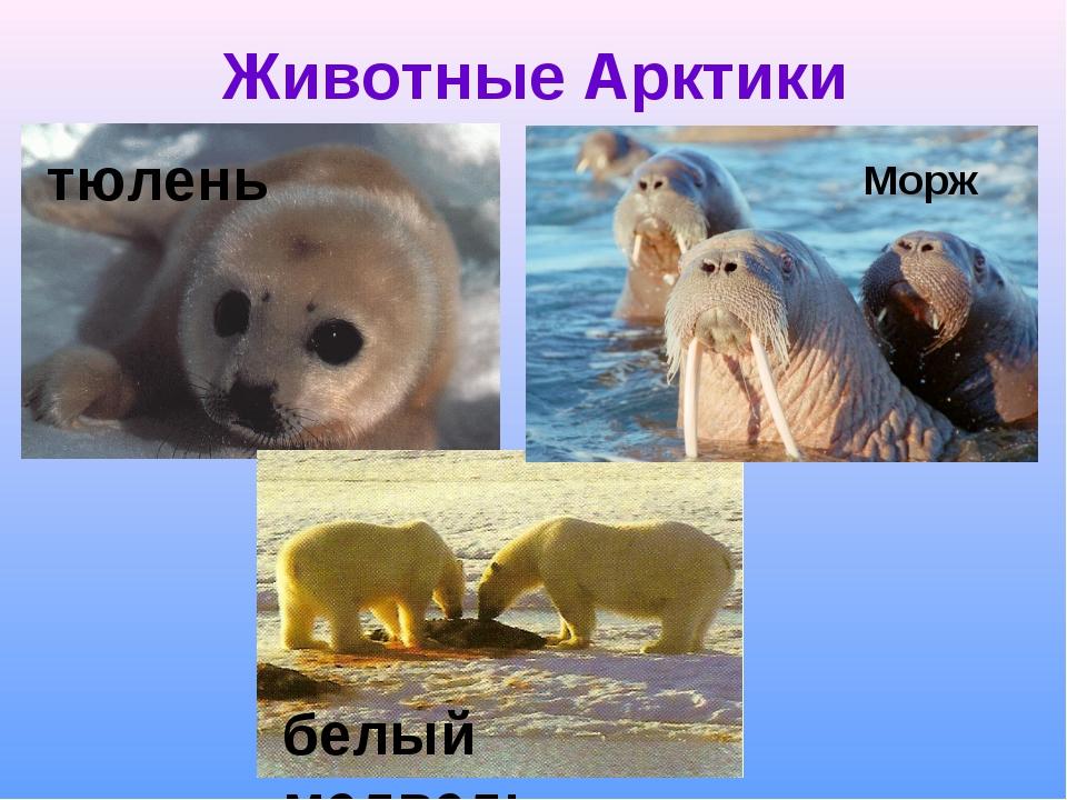 Животные Арктики Морж