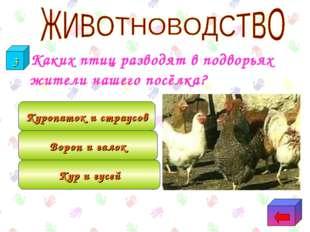 Каких птиц разводят в подворьях жители нашего посёлка? Кур и гусей Ворон и г