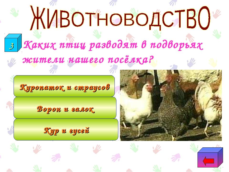 Каких птиц разводят в подворьях жители нашего посёлка? Кур и гусей Ворон и г...