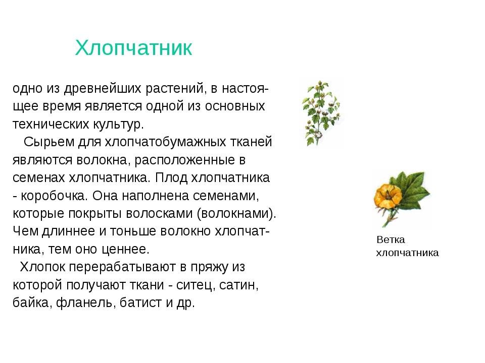 Хлопчатник одно из древнейших растений, в настоя- щее время является одной из...