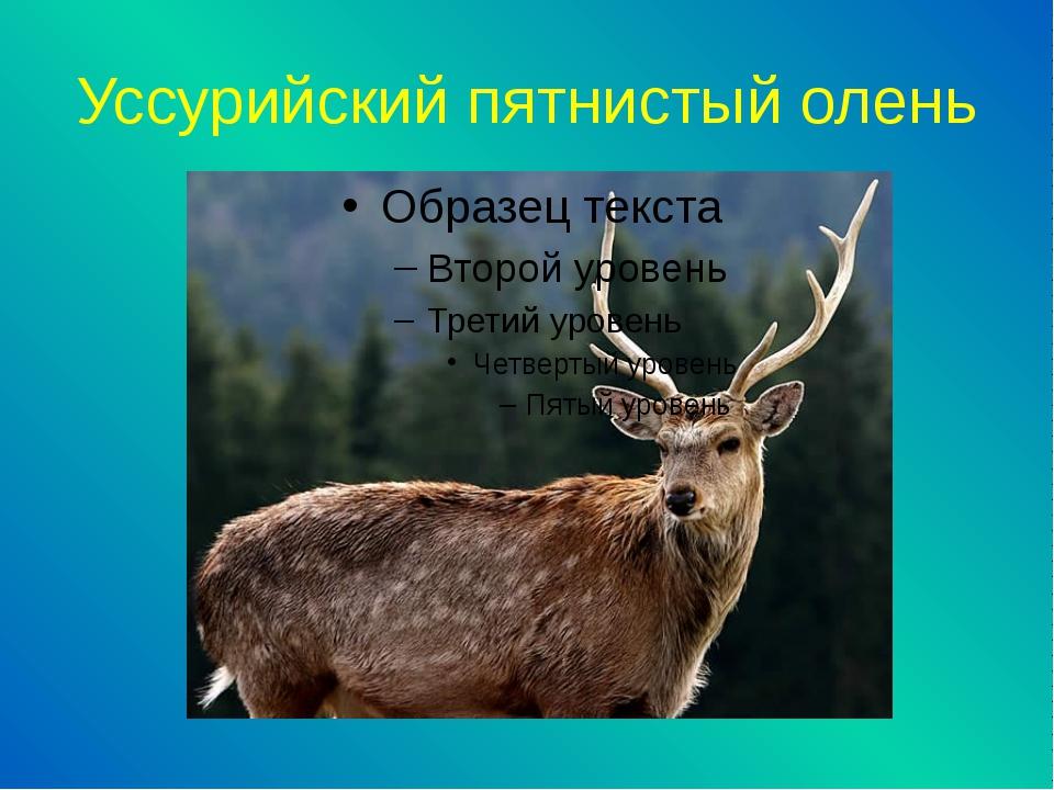 Уссурийский пятнистый олень