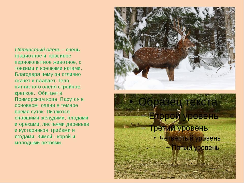 Пятнистый олень – очень грациозное и красивое парнокопытное животное, с тонк...