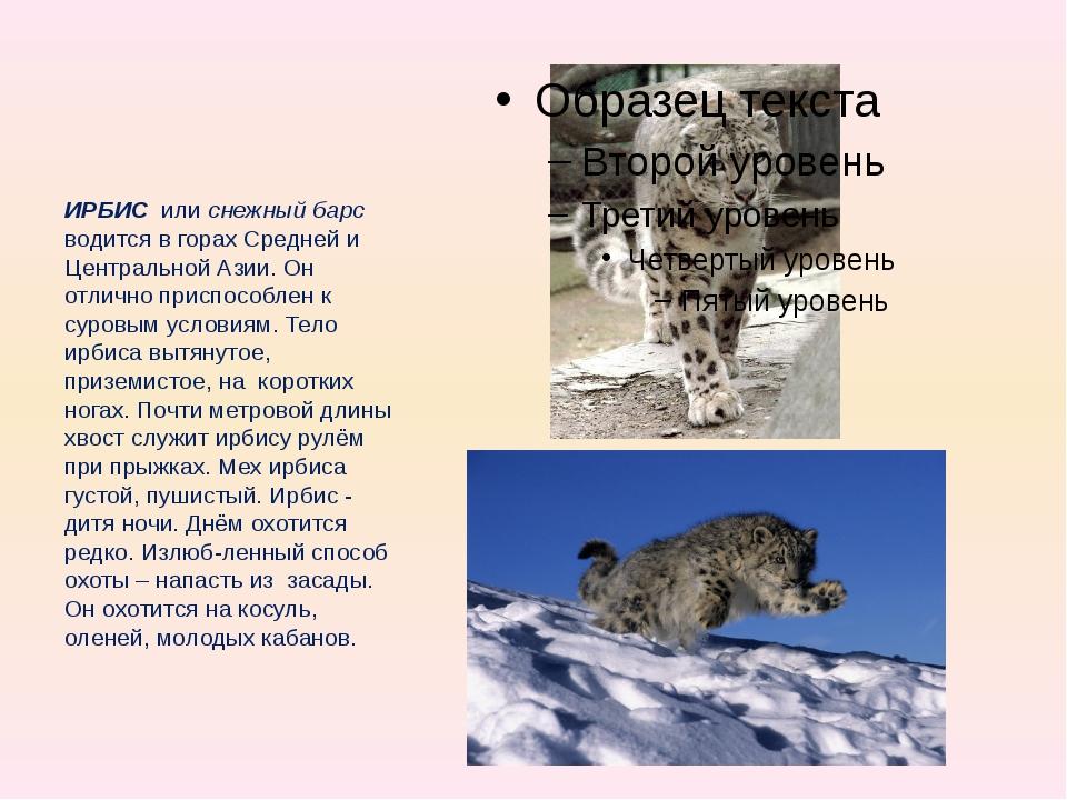 ИРБИС или снежный барс водится в горах Средней и Центральной Азии. Он отлич...