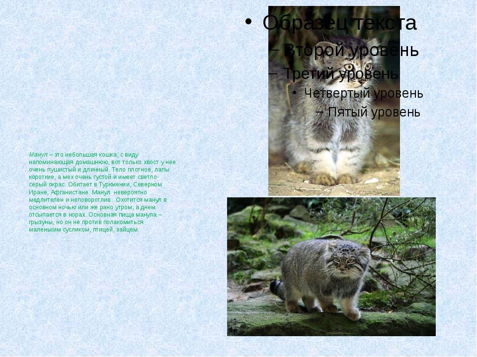 Манул – это небольшая кошка, с виду напоминающая домашнюю, вот только хвост...