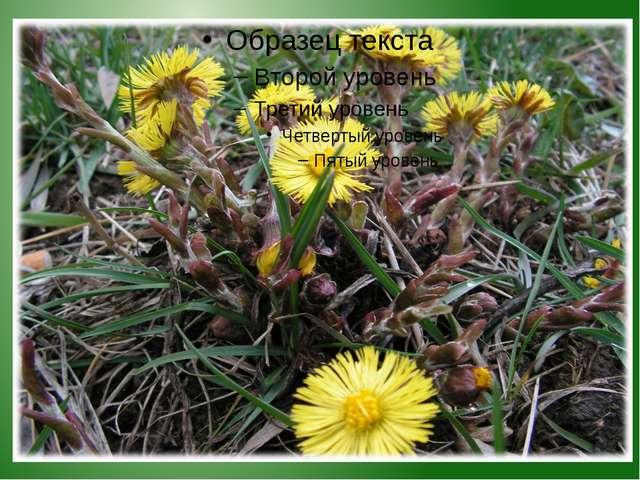 Научное название растения «ТУССИЛАГО» в переводе означает «ПРОГОНЯЮЩЕЕ КАШЕЛЬ...