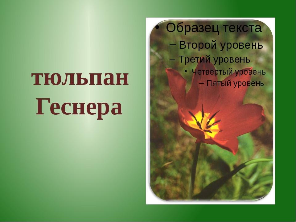 тюльпан Геснера