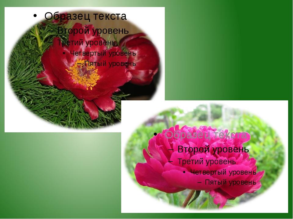 Растёт высоким, пышным кустом. Это лекарственное растение. Названо по имени П...