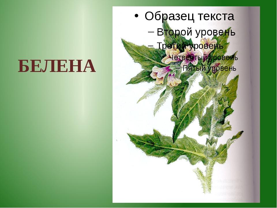 БЕЛЕНА Белена – очень ядовитое растение. Иногда дети поедают её семена, похо...