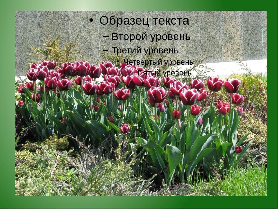 Получили своё название от персидского слова «тюрбан» - чалма. Цветок и вправд...