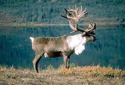 ЛАПЛАНДСКИЙ заповедник - северный олень
