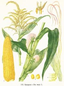 Кукуруза - маис фото