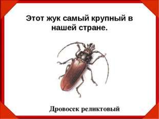 Этот жук самый крупный в нашей стране. Дровосек реликтовый
