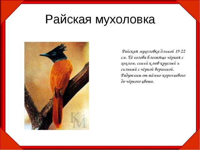 Райская мухоловка Райская мухоловка длиной 19-22 см. Её голова блестяще чёрна...