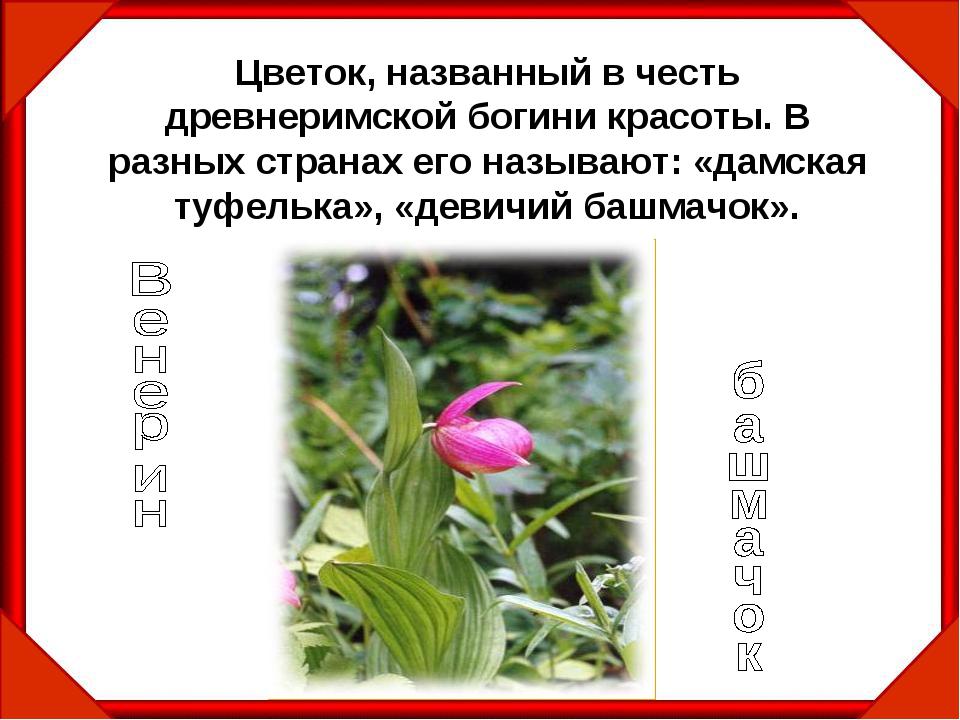 Цветок, названный в честь древнеримской богини красоты. В разных странах его...