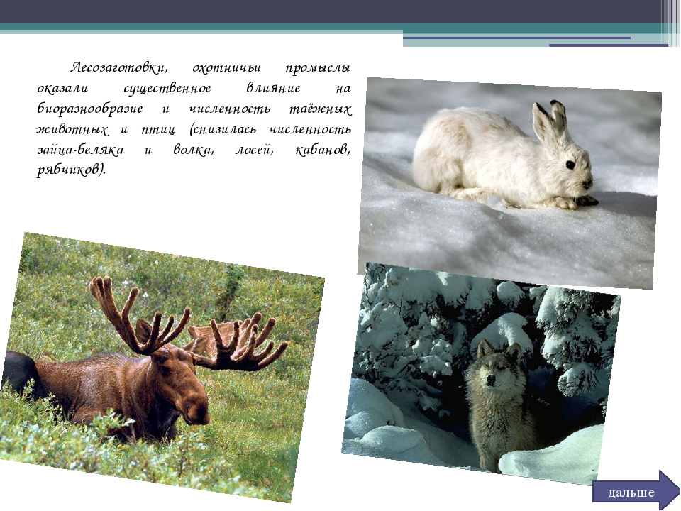Лесозаготовки, охотничьи промыслы оказали существенное влияние на биоразнооб...