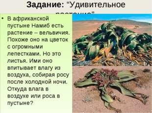 """Задание: """"Удивительное растение"""". В африканской пустыне Намиб есть растение –"""