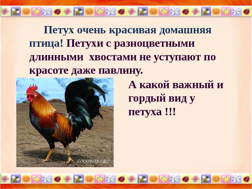 Петух очень красивая домашняя птица! Петухи с разноцветными длинными хвостам...