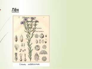 Выращивание Культивационный цикл льна –100 дней. Лён, в отличие от хлопка, н