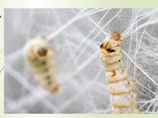 Химический состав шелка Коконная нить состоит из белкового вещества фиброина