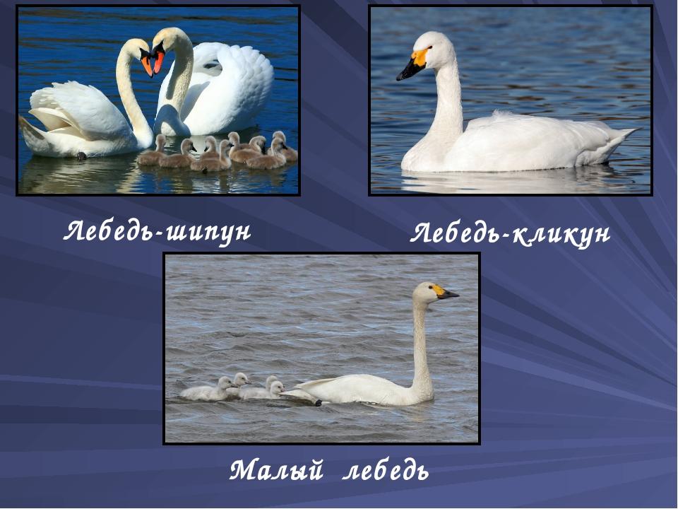 Лебедь-шипун Лебедь-кликун Малый лебедь