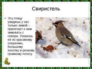 Свиристель •Эту птицу увидишь у нас только зимой – прилетает к нам зимовать