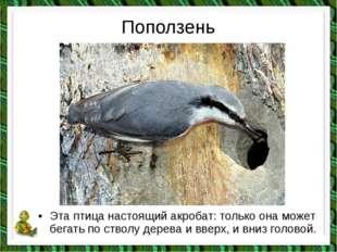 Поползень •Эта птица настоящий акробат: только она может бегать по стволу де