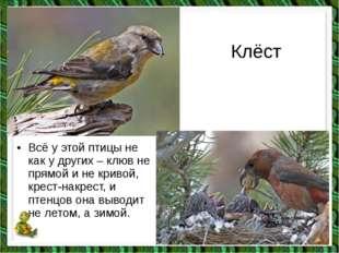 Клёст •Всё у этой птицы не как у других – клюв не прямой и не кривой, крест-