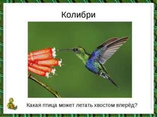 Колибри Какая птица может летать хвостом вперёд?