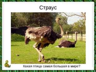 Страус Какая птица самая большая в мире?