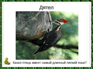 Дятел Какая птица имеет самый длинный липкий язык?