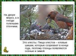 На дворе мороз, а в гнезде голенькие птенчики. Это клесты. Пища клестов – ело